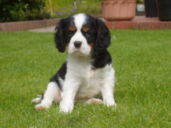 Cavalier King Charles Spaniel Puppies Te Koop Woefkesranch Putte